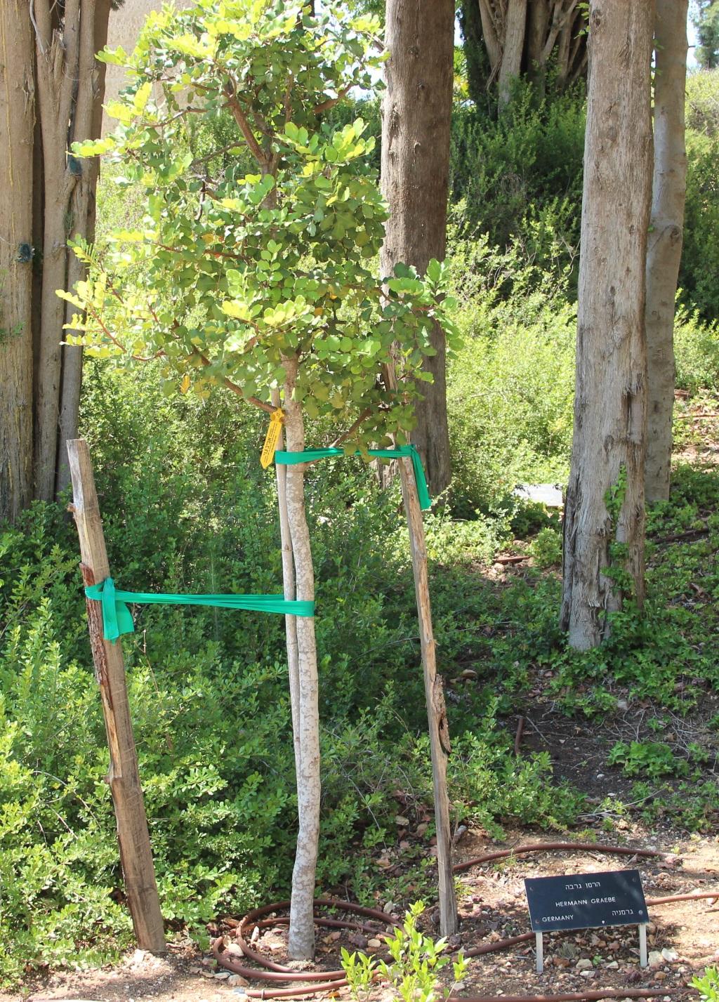 """Gräbes Baum wächst seit 1967 in Jerusalem in der """"Allee der Gerechten"""". Der Brotbaum ist vergleichsweise klein geblieben. Aber er wird dort weiter wachsen. (Foto: B. Glumm)"""