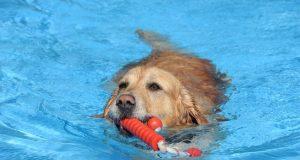 Dass Hunde Wasser lieben, ist kein Geheimnis. Und die meisten sind sogar überaus gute Schwimmer. Im Heidebad dürfen die Vierbeiner zum Saisonabschluss ihre Runden drehen. (Foto: © Bastian Glumm)