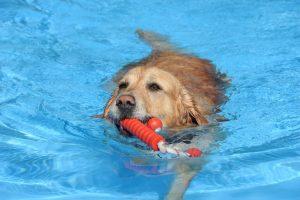 Dass Hunde Wasser lieben, ist kein Geheimnis. Und die meisten sind sogar überaus gute Schwimmer. Im Heidebad dürfen die Vierbeiner zum Saisonabschluss ihre Runden drehen. (Archivfoto: © Bastian Glumm)