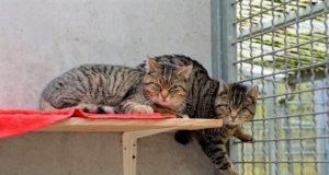 Die Europäischen Kurzhaartiger Selma und Luise sind im Mai 2018 in freier Wildbahn geboren. Seit Oktober leben sie im Tierheim. Bisher hatten sie nur wenig Menschenkontakt und sind noch sehr scheu. (Foto: © Martina Hörle)