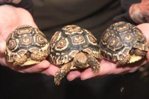 Heute reicht eine Hand für die drei Tiere schon nicht mehr aus. Pantherschildkröten werden bis zu 100 Jahre alt. (Foto: B. Glumm)