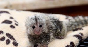 Das kleine Weißbüscheläffchen, das vor einigen Wochen in der Fauna geboren wurde, ist Halbwaise. Das Muttertier musste eingeschläfert werden. Christina Farke, zoologische Leiterin der Fauna, zieht den kleinen Racker zu Hause mit der Flasche auf. (Foto: B. Glumm)