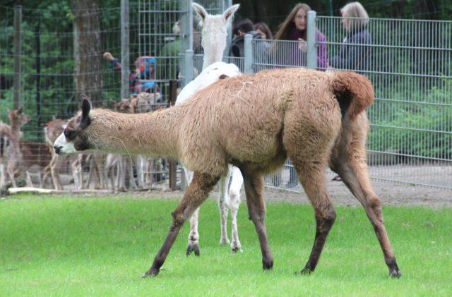 Diese Lamadame geht noch namenlos durchs Leben. Das soll sich am 3. Oktober ändern. Tierparkbesucher der Fauna sind aufgefordert, bei der Namensfindung zu helfen. (Archivfoto: B. Glumm)