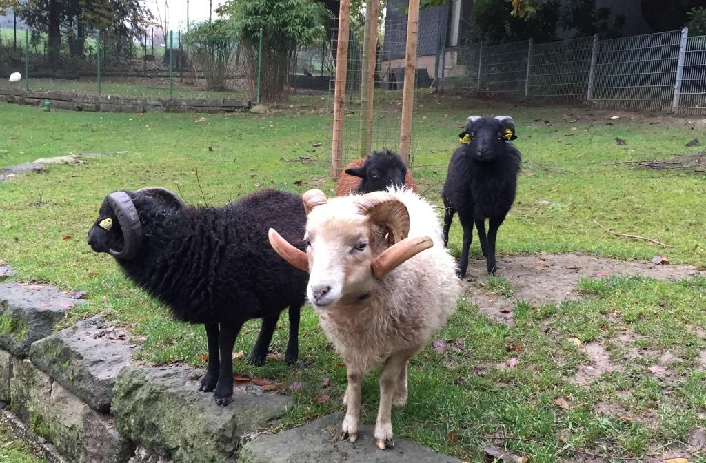 Auch die Oessant-Schafe freuen sich über einen Neuzugang: ein Oessant-Schafbock aus dem Zoopark Erfurt (hinten rechts) zog jetzt in der Fauna ein. (Foto: Christina Farke/Tierpark Fauna)
