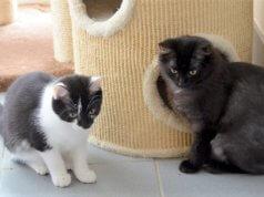 Bonnie (li.) und Duffy warten mit drei anderen bezaubernden Katzenmädchen auf ein neues Zuhause. (Foto: © Martina Hörle)