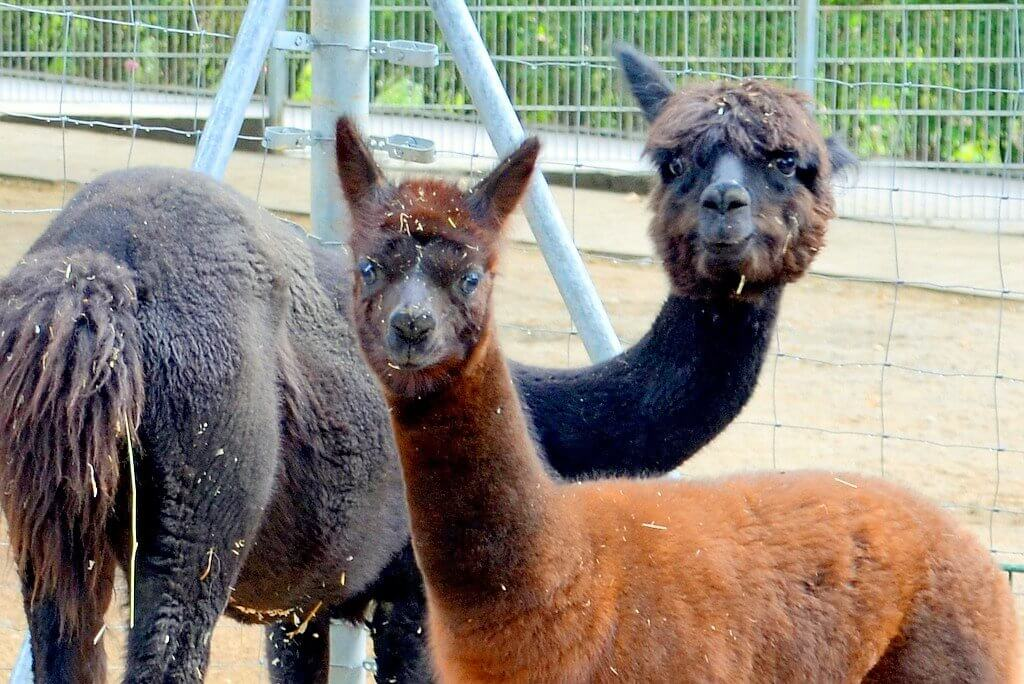 Stute Arielle und Nachwuchs Nala halten sich noch getrennt von den anderen Tieren auf. Beide sind gesund und munter. (Foto: © Martina Hörle)
