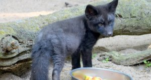 Heute hat das kleine 15 Wochen alte Fuchsmädchen einen Namen bekommen. Rund 50 Vorschläge wurden ausgewertet. Jetzt hört die Kleine auf Freya. (Foto: © Martina Hörle)