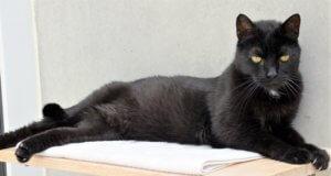 Die schwarze Nuri ist eine Europäische Kurzhaar-Katze, die wegen Allergie und Zeitmangel abgegeben wurde. Sie ist ausgesprochen menschenbezogen und sehr verschmust. Jetzt wünscht sie sich ein neues Heim mit Freigang, in dem sie ohne andere Katzen leben darf. (Foto: © Martina Hörle)