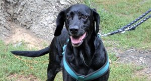 Bello, der schwarze Labrador-Cocker-Mix, ist erst seit ein paar Tagen im Tierheim. Er hat sein älteres Herrchen verloren und ist etwas durcheinander. (Foto: © Martina Hörle)