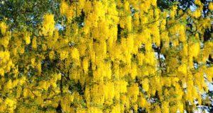 Mit seinen üppigen goldgelben Blütenkaskaden ist der Goldregen eine wahrhaft prachtvolle Zierpflanze. (Foto: © Martina Hörle)