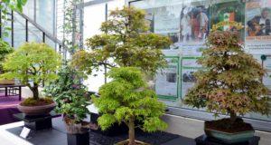 Die Bonsai-Ausstellung steht dieses Jahr ganz im Zeichen des Ahorns. Diese Baumart ist aufgrund ihrer Blattfärbung sehr beliebt. Zwanzig verschiedene Arten sind in der Orchideenhalle zu besichtigen. (Foto: © Martina Hörle)
