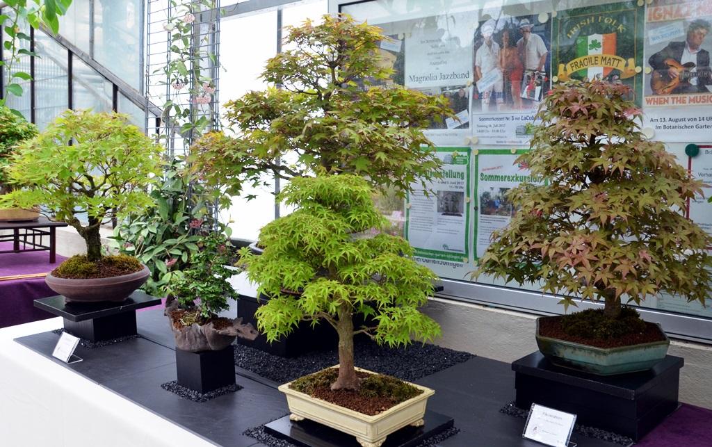 botanischer garten bonsais im zeichen des ahorns. Black Bedroom Furniture Sets. Home Design Ideas