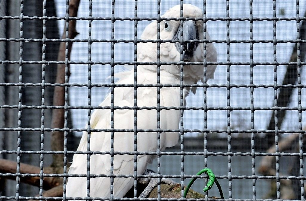 Weißhaubenkakadu Olli begrüßt jeden Besucher mit einem lauten Hallo. Deshalb nennt man ihn auch Herr Hallo. Der Vogel liebt es, wenn man ihm etwas vorsingt. (Foto: © Martina Hörle)