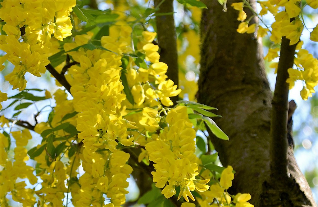 Im Gegensatz zu seiner Blütenfülle besitzt der Goldregen nur spärliche grüne Blätter. (Foto:© Martina Hörle)