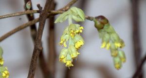 In diesem Jahr haben wir die Entwicklung der Barbarazweige mit Unterstützung von Floristin Heike Ritterskamp verfolgt. Tag für Tag zeigten sich an den verschiedenen Zweigen vermehrt Knospen. (Foto: © Heike Ritterskamp)