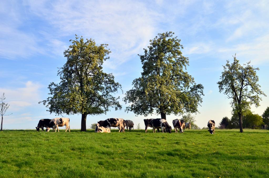 Die Tiere leben im Familienverbund und können sich im offenen Laufstall oder auf der Weide aufhalten. (Foto: © Martina Hörle)