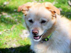 Buddy, der bildschöne Retriever-Corgi-Mischling, sucht ein neues Zuhause mit Dosenöffnern, die bereits Hundeerfahrung haben. (Foto: © Martina Hörle)