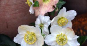 Wenn der Garten bereits im Winterschlaf liegt, zeigt die Christrose ihre zauberhaften weißen Blüten. (Foto: © Martina Hörle)
