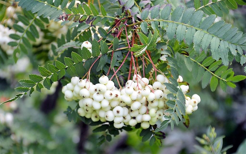 Die Weiße Strauch-Eberesche ist mit ihren weißen Früchten außerordentlich attraktiv und die Beeren bei der heimischen Vogelwelt überaus beliebt. (Foto: © Martina Hörle)