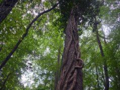 Der Efeu ist keine Schmarotzerpflanze. Er nutzt Bäume nur als Kletterhilfe. Dabei erreicht er nicht selten eine Höhe von 20-30 m. (Foto: © Martina Hörle)
