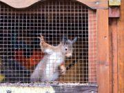 Bald ist es soweit. Dann kann das Hörnchen ausgewildert werden. Seit dem Herbst ist es bei Lena Sonnenschein in Pflege. (Foto: © Martina Hörle)
