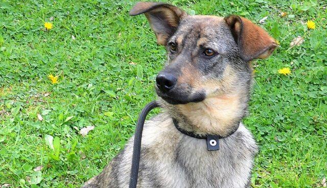 Ema, die bezaubernde kleine Schäferhund-Collie-Hündin, ist auf der Suche nach einem liebevollen Zuhause. Toll wäre es, wenn sie Zweithund sein könnte. (Foto: © Martina Hörle)