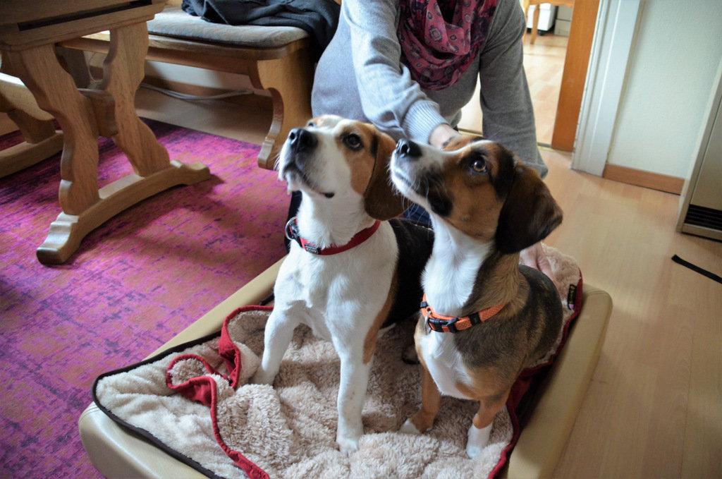 Beagle Zeusz (li.) ist seit einem halben Jahr in einer Pflegefamilie. Seine Epilepsie hat sich mittlerweile entscheidend verbessert. Das Tier ist munter, verspielt und absolut verträglich. (Foto: © Martina Hörle)