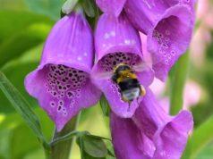Der Fingerhut ist Gift- und Heilpflanze zugleich. Schon im 12. Jahrhundert wurde er gegen Geschwüre und zur Wundheilung eingesetzt. Die bekannteste Variante ist der Rote Fingerhut. (Foto: © Martina Hörle)