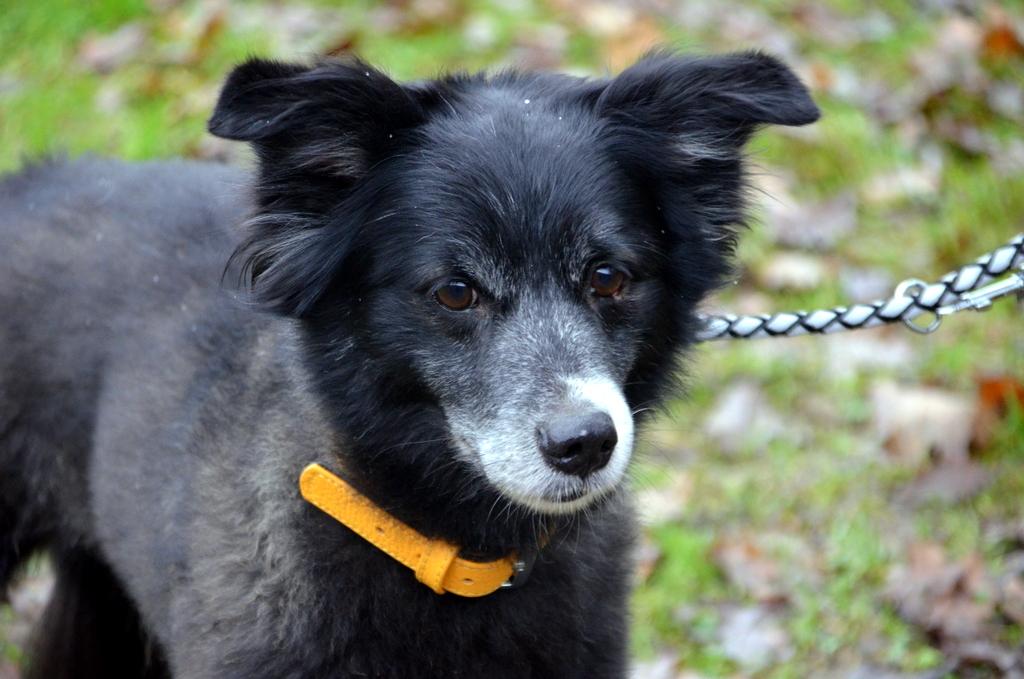 Grigio ist ein sportlicher und aktiver Hund. Er liebt lange und ausgiebige Spaziergänge. (Foto: © Martina Hörle)