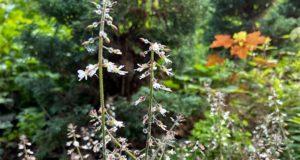 Das Hexenkraut wächst meist in dichten Beständen, ist aber auch als einzelne kleine Pflanze zu finden. (Foto: © Heike Ritterskamp)