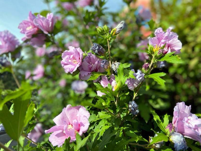 Den Hibiskus oder Eibisch gibt es als krautige Pflanze, aber auch als Strauch oder Baum. (Foto: © Martina Hörle)