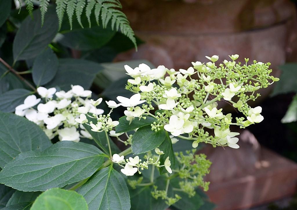 Die Rispenhortensie stellt nur wenige Ansprüche an den Boden. Ihre Blüten setzen sich aus vielen fruchtbaren Blüten und einigen dekorativen Schaublüten zusammen. (Foto: © Martina Hörle)