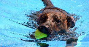 Riesenspaß hatten die Vierbeiner beim diesjährigen Saisonauftakt des Hundeschwimmens im Heidebad. Unermüdlich wurden Bälle, Ringe und Gummi-Enten erbeutet. (Foto: © Martina Hörle)
