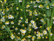 Die Kamille ist Heilpflanze und Frühlingsbote zugleich. Während die kleinen weißen Blütenblätter anfangs aufrecht stehen, hängen sie nach der Befruchtung durch Insekten nach unten. (Foto: © Martina Hörle)