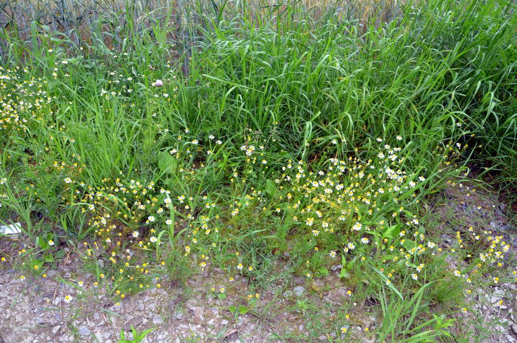 Die Kamille wächst vorzugsweise an Wegrändern und Getreidefeldern, wie hier am Rand eines Roggenfeldes. Leider ist sie im Laufe der Zeit ein Opfer der Pestizide geworden. (Foto: © Martina Hörle)