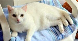 Die fünfjährige Katzendame mit den gelblich-grünen Augen ist eine ausgesprochene Schönheit. In dem weißen Fell ist kein einziges andersfarbiges Härchen. (Foto: © Martina Hörle)