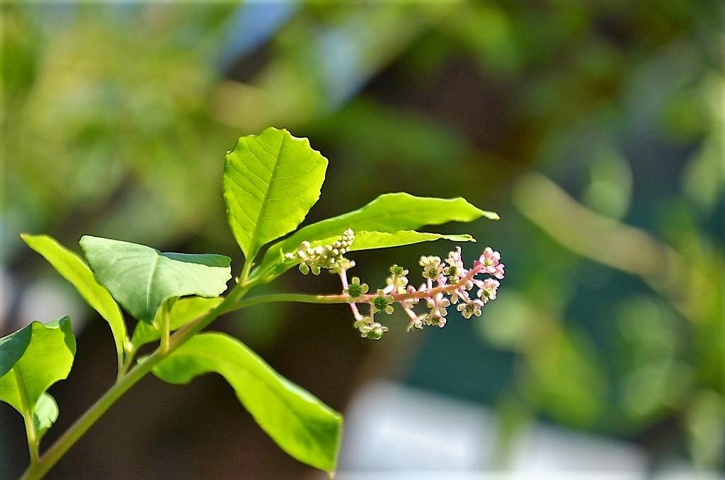 Während der Blütezeit tragen die Kermesbeeren weiße bis rötliche traubenartige Blütenstände. (Foto: © Martina Hörle)