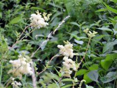 Das Mädesüß steht gerade in Blüte. Die Staude kann eine Höhe von zwei Metern erreichen. Ihre dunkelgrünen Blätter sind stark geadert und haben fein gesägte Ränder. (Foto: © Martina Hörle)