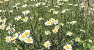 Margeriten gehören zu jeder blühenden Bauernwiese. Ihre großen Blüten drehen sich gerne zur Sonne hin. (Foto: © Martina Hörle)