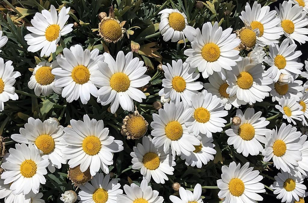 Die gezüchteten Arten werden gerne als Kübelpflanzen eingesetzt. (Foto: Martina Hörle)