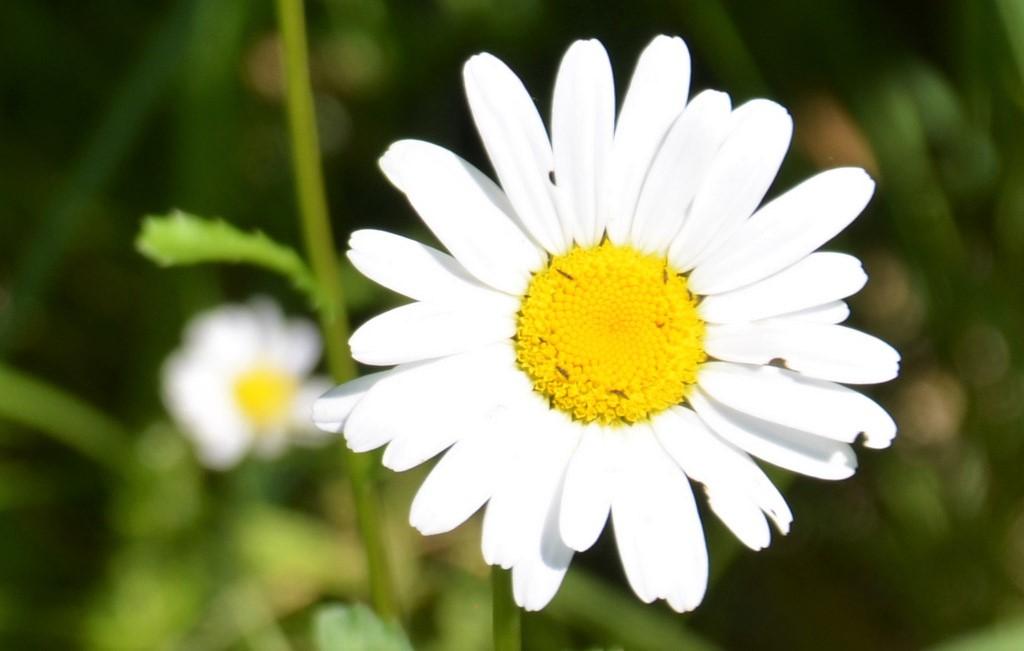 Früher wie heute wird die Margerite gerne als Orakelblume befragt. Bei den alten Griechen wurde die zauberhafte Blume der Göttin Aphrodite geweiht.(Foto: Martina Hörle)
