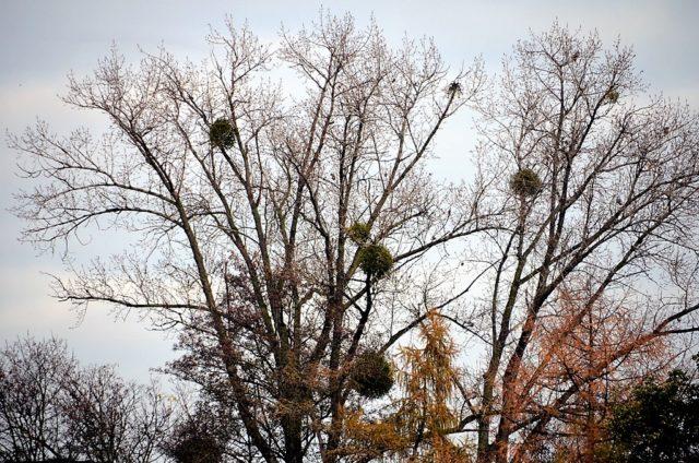 Schon seit Jahrtausenden übt die Mistel einen geheimnisvollen Zauber auf die Menschen aus. Zu dieser Jahreszeit kann man die kugelartigen Gebilde häufig in den Ästen von unbelaubten Bäumen sehen. Der Halbschmarotzer steht unter Naturschutz. (Foto: © Martina Hörle)