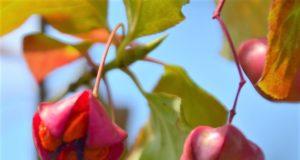 Mit ihren leuchtend roten Früchten bilden die Pfaffenhütchen in diesem Herbst wieder eine wahre Augenweide. Die Pflanze verdankt ihren Namen der Kardinals-Kopfbedeckung. (Foto: © Martina Hörle)