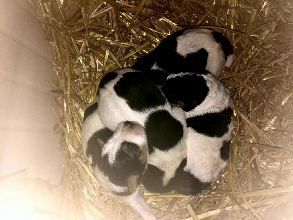 Alle vier Welpen sind putzmunter. Sie kamen gestern Nacht auf die Welt. Auch die Hundemama ist wohlauf. (Foto: © Carola Horlemann)