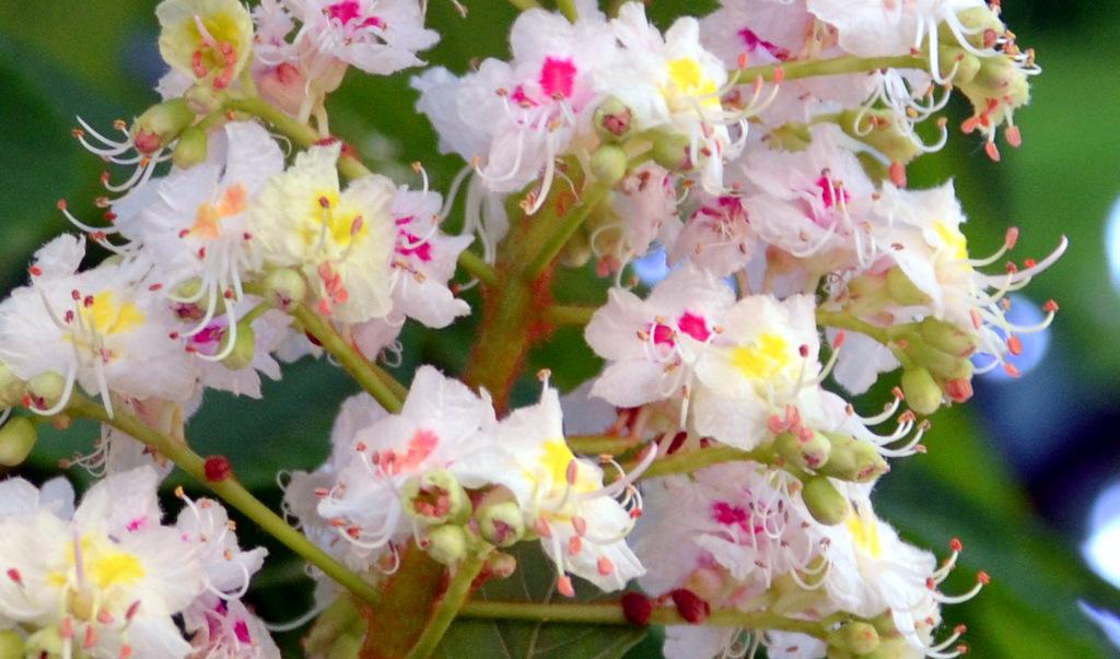 Der Baum selbst weist mit seiner Nektarampel auf die Blüten hin, die gerade Nektar produzieren. (Foto: © Martina Hörle)
