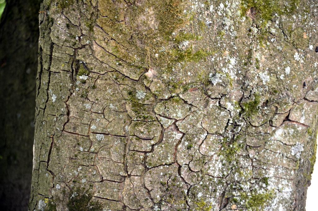 Die Rinde der Rosskastanie enthält besonders viele Gerbstoffe, die gegen Verdauungsbeschwerden helfen können. (Foto: © Martina Hörle)