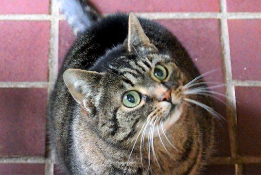 Katzendame Mira ist sehr menschenbezogen und liebt Streicheleinheiten. Sie erwartet aber auch, dass ihre Rückzugswünsche respektiert werden. Jetzt freut sich die Samtpfote auf ein neues Zuhause, in dem sie als Einzeltier leben darf. (Foto: © Martina Hörle)