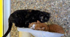 Die scheuen Stubentiger Sarina und Garfield sind nach acht Jahren erneut im Tierheim. Ihre künftigen Dosenöffner sollten sich viel Zeit nehmen, so dass die beiden Vertrauen aufbauen können. (Foto: © Martina Hörle)