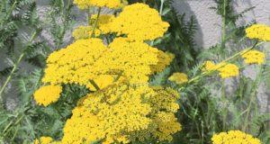 Die Schafgarbe blüht meist auf Wiesen oder am Wegrand. Die gelbe Variante wird wegen ihrer leuchtenden Blüten auch Goldgarbe genannt. (Foto: © Martina Hörle)
