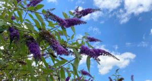 Mit seinen leuchtend bunten Rispen und seinem betörenden Duft ist der Sommerflieder eine Bereicherung für jeden Garten. (Foto: © Heike Ritterskamp)